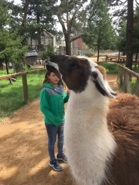 The llama that spit on Abby.